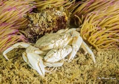 Spiaggia 54 Riccione - granchio-su-anemoni