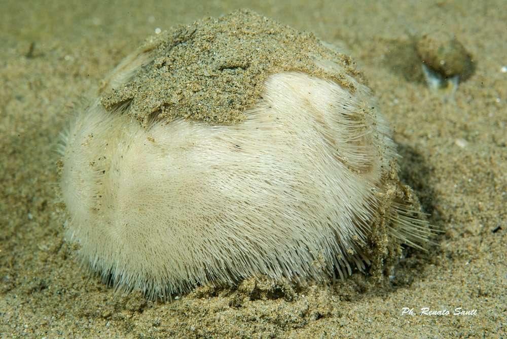 Spiaggia 54 Riccione - riccio-di-sabbia